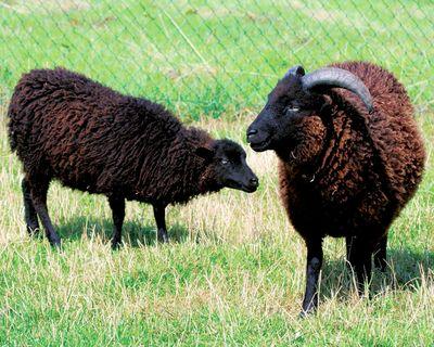 mouton-douessant4
